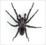 araignée NAC