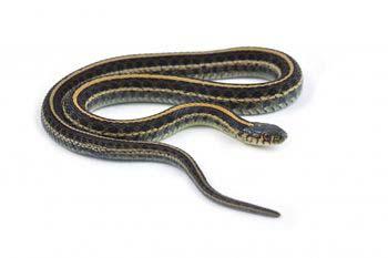 serpent NAC